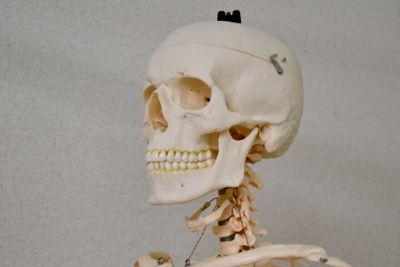 頭部の骨格模型