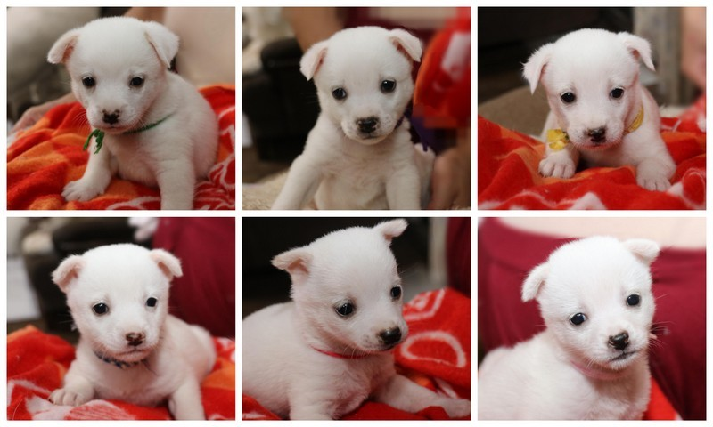 170923白い6匹の子犬抜粋